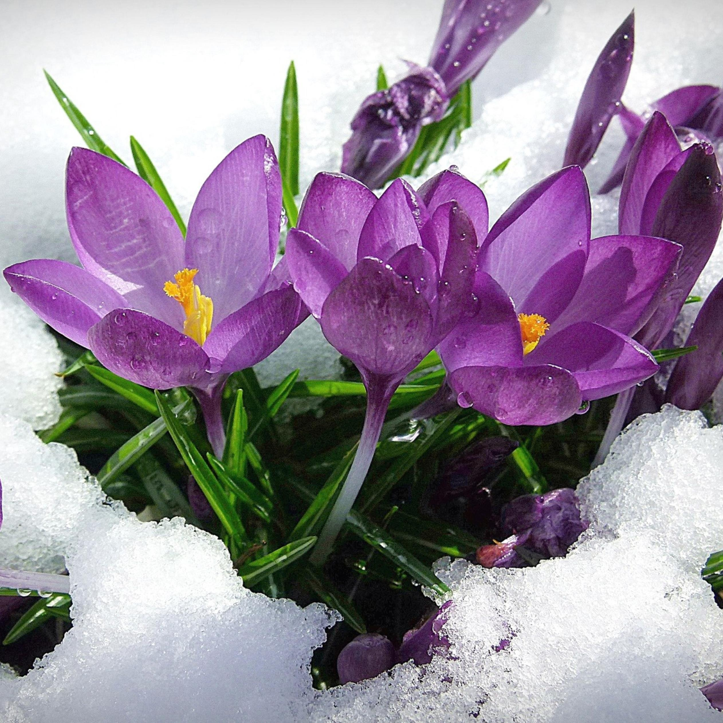 Purple Spring Flowers In The Snow