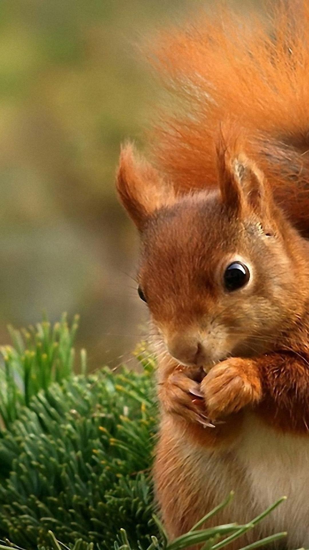 Popular Wallpaper Mobile Animal - red-squirrel-eat-nuts-sweet-little-wild-animal-1080x1920  Trends_359219.jpg