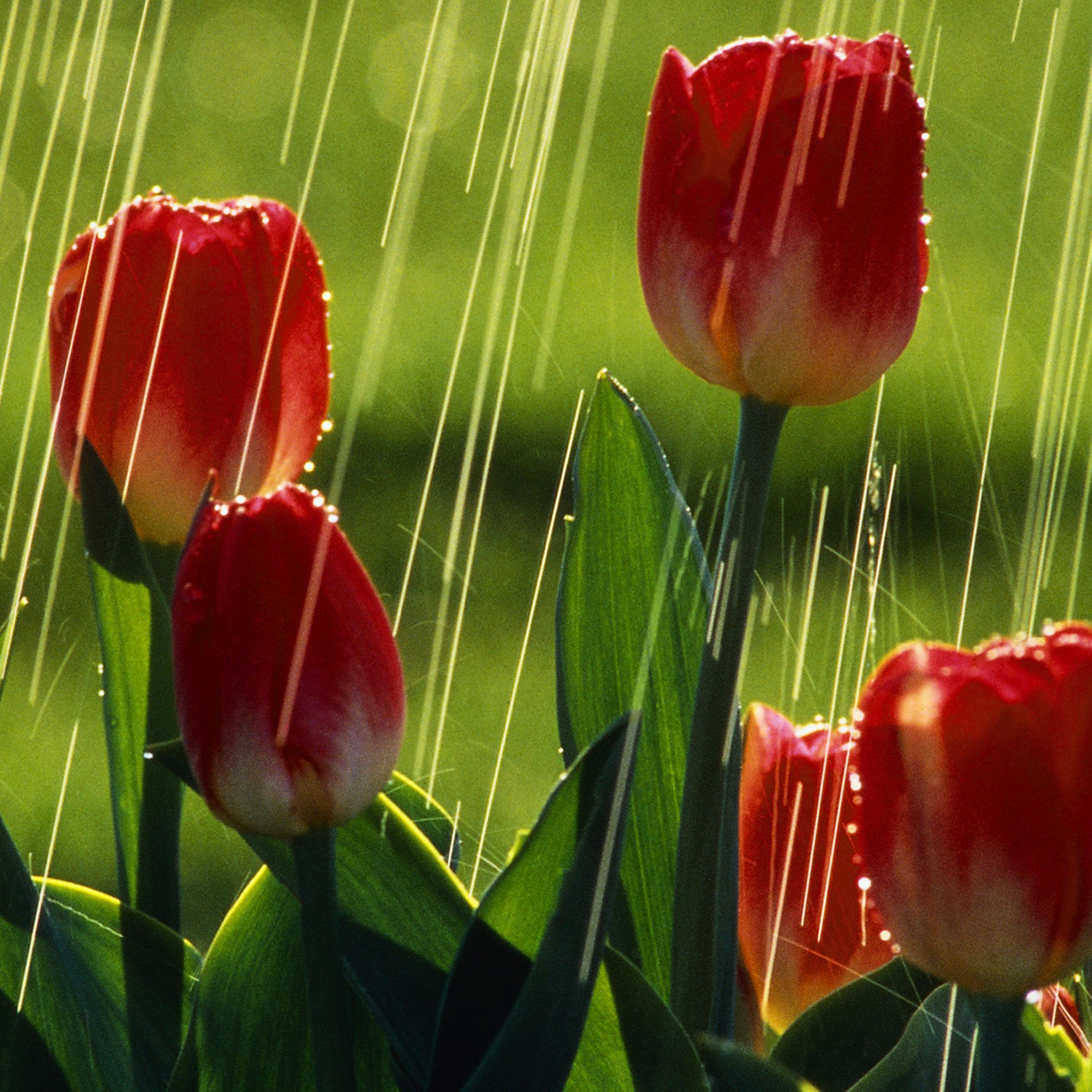 Red tulips under the rain flowers wallpaper wallpaper download download wallpaper 2524x2524 red tulips under the rain flowers wallpaper altavistaventures Image collections