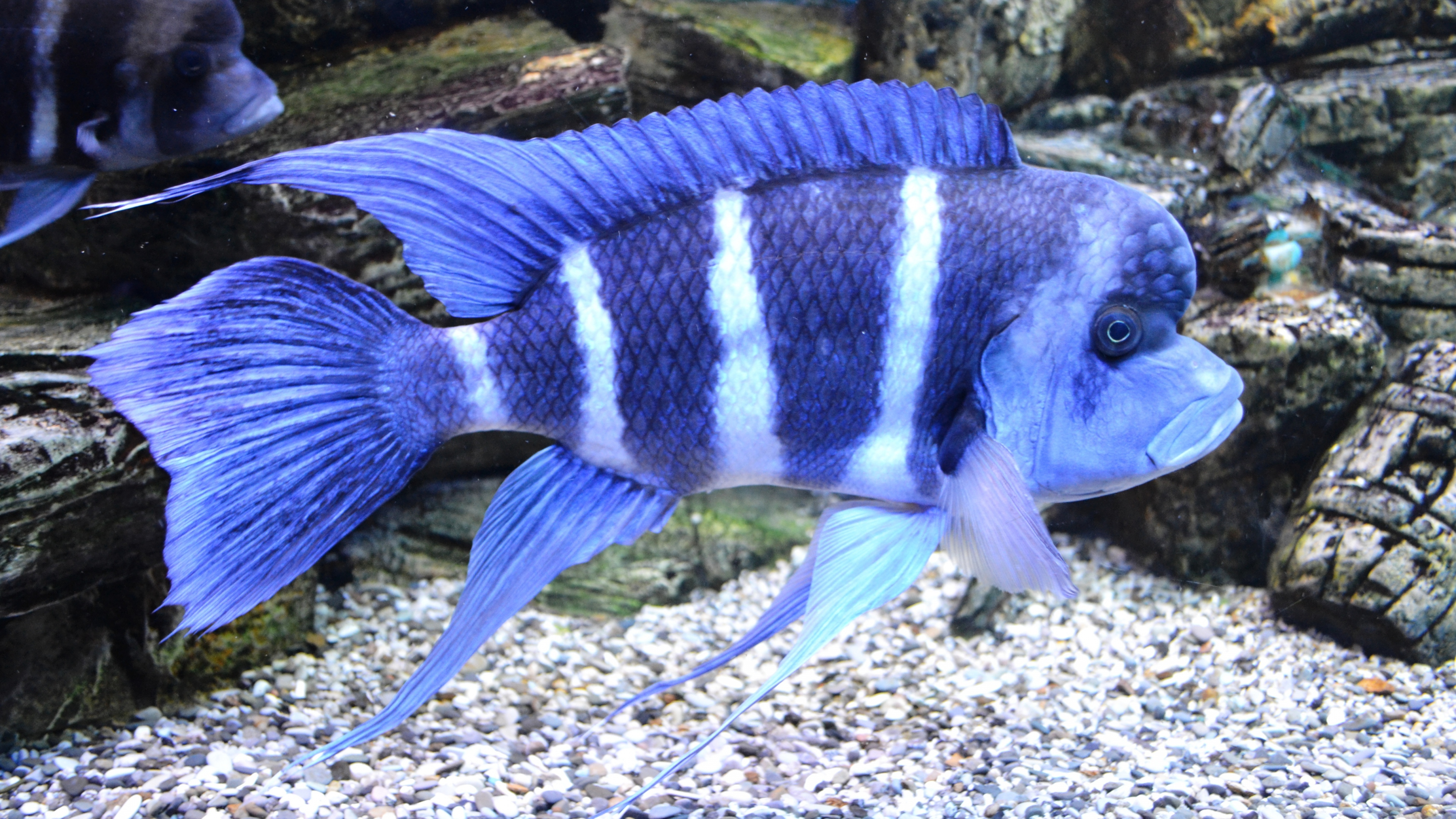 Striped blue fish in an aquarium fins wallpaper for Blue freshwater fish