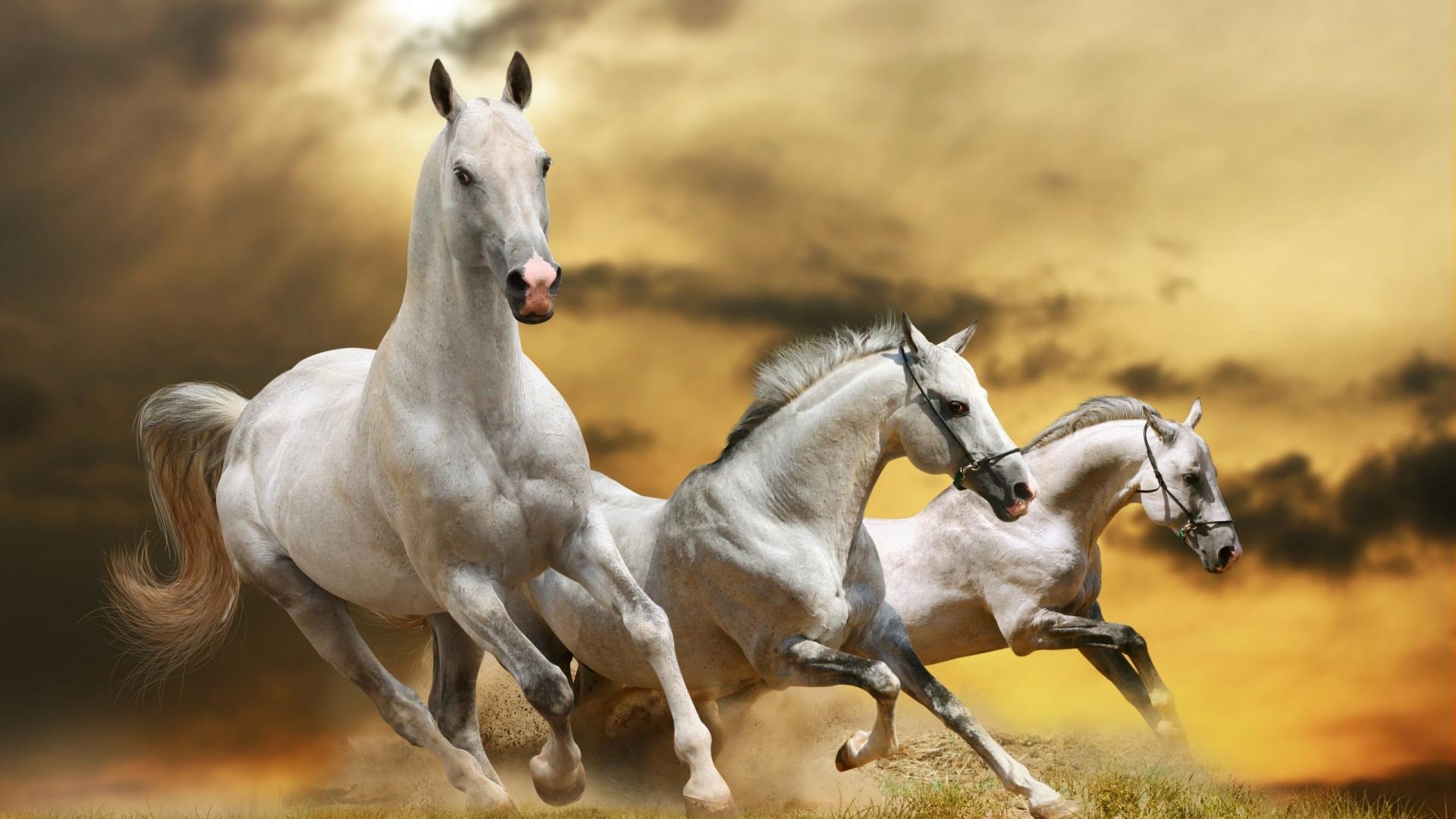 Three Beautiful White Horses Running
