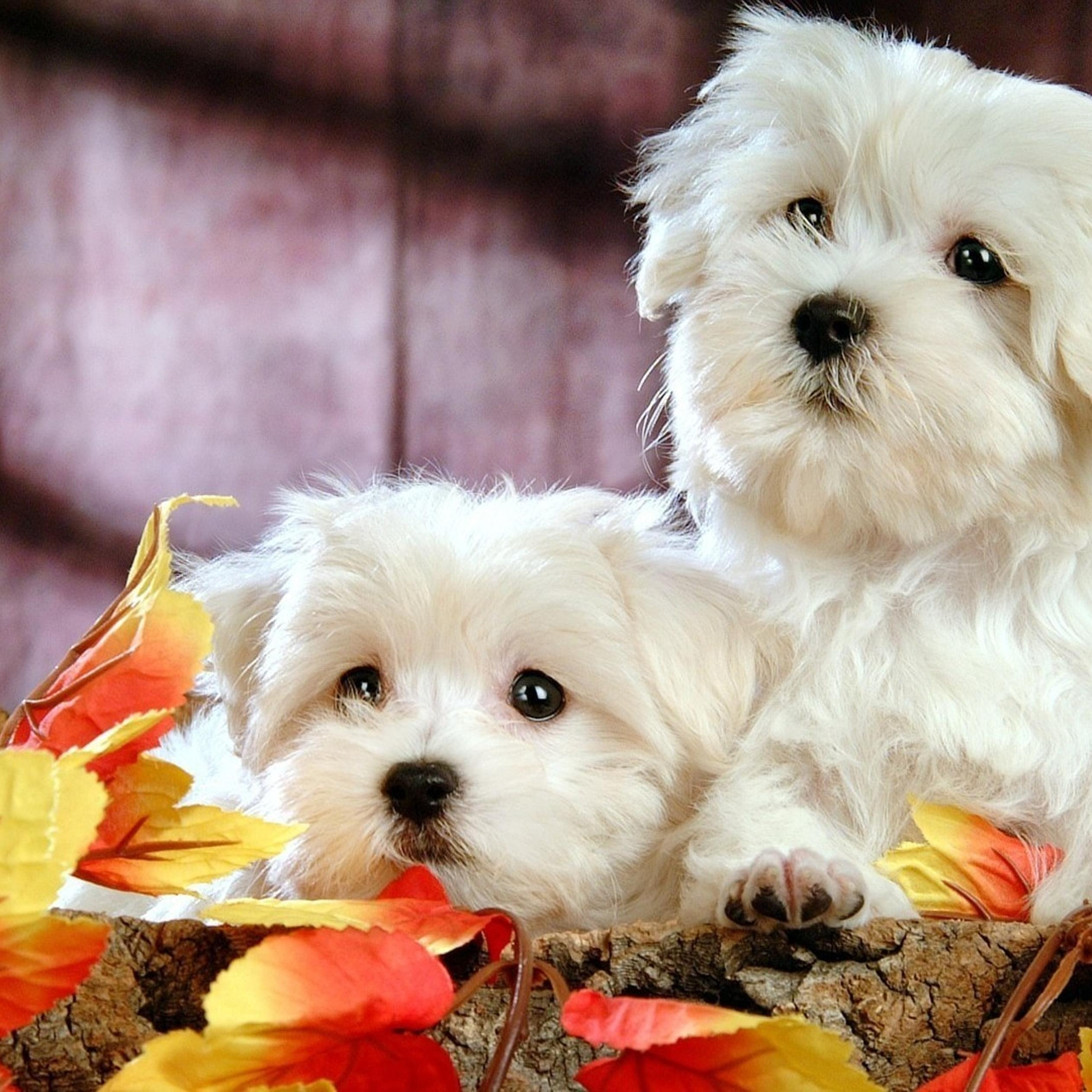 two beautiful white bichon frize - sweet dogs wallpaper download