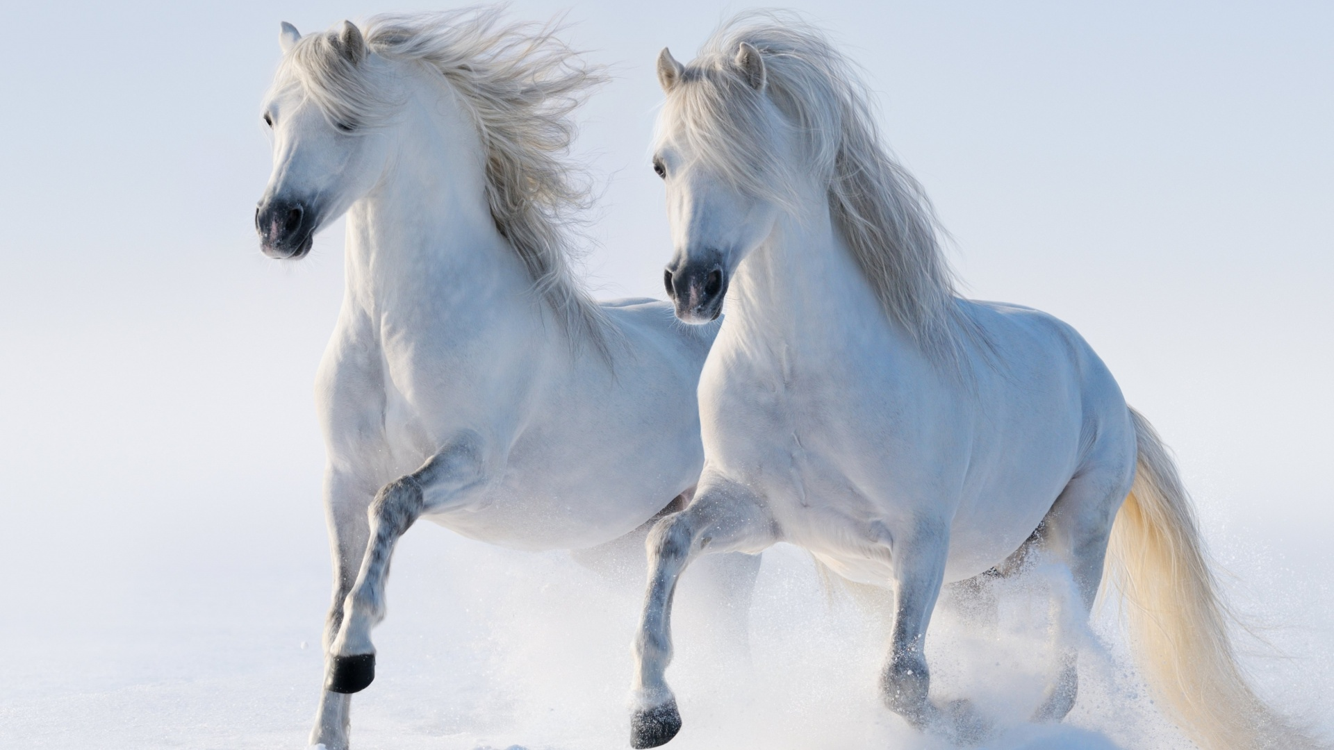 Beach Ford Service >> Two beautiful white horses running in the snow