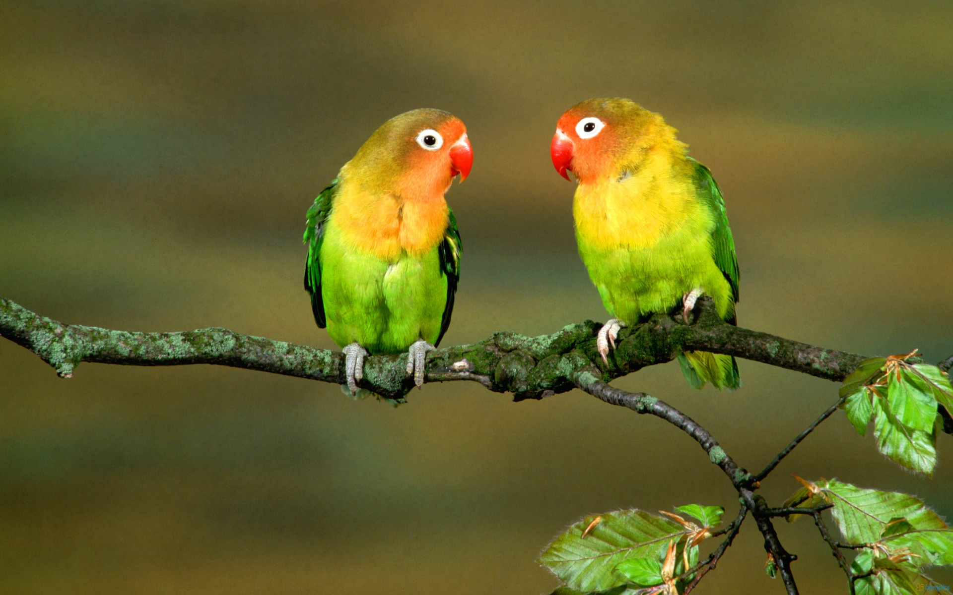 Two Colourful Parrots On A Branch Of Tree