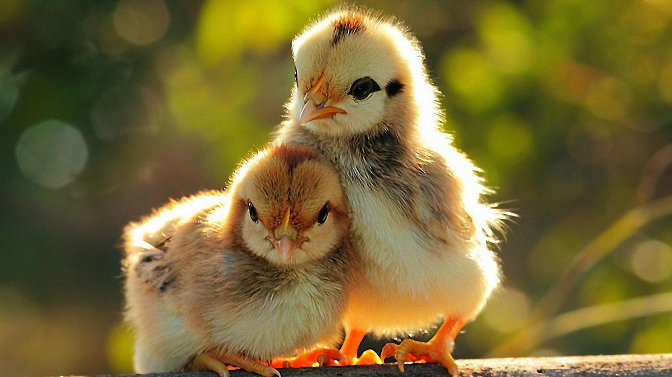 Download Wallpaper 1366x768 Two Cute Chicks