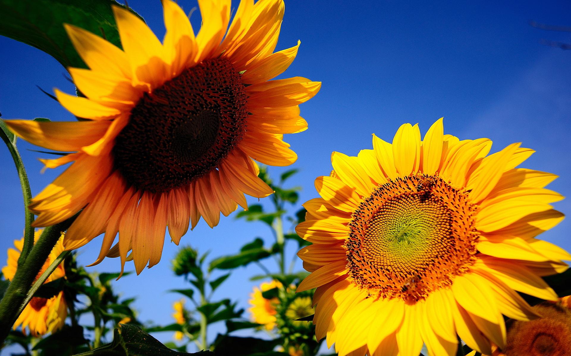 Two sunflowers talking in the sun - Summer season