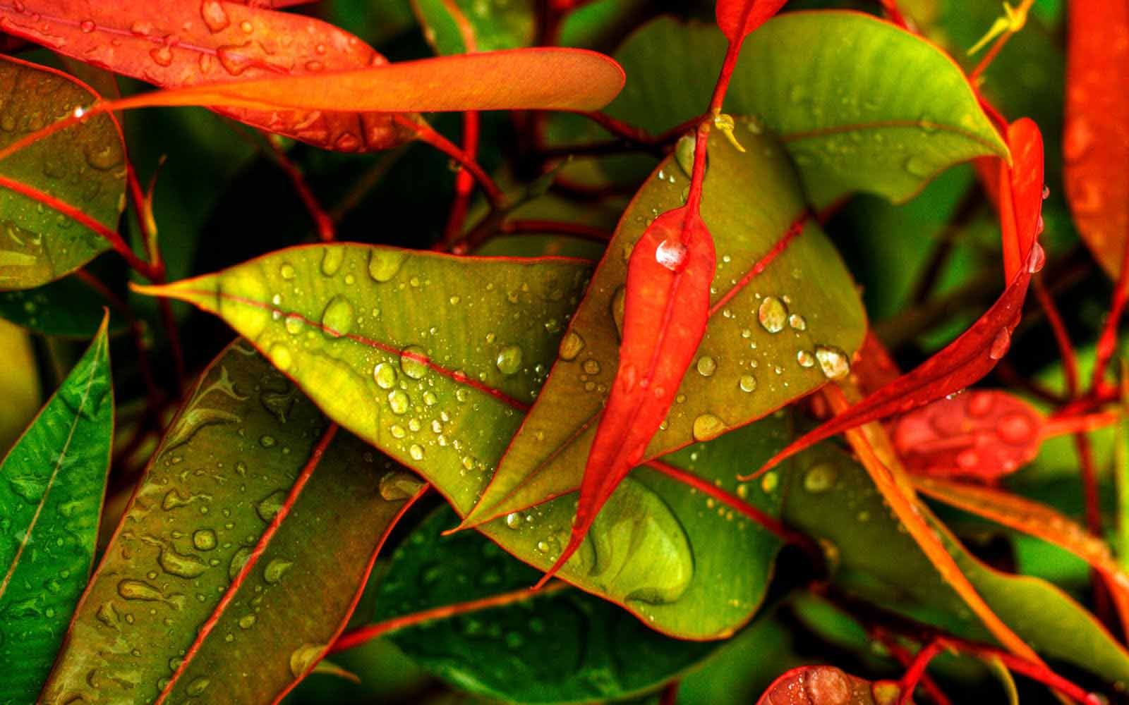 water drops on the leaves in the morning hd wallpaper