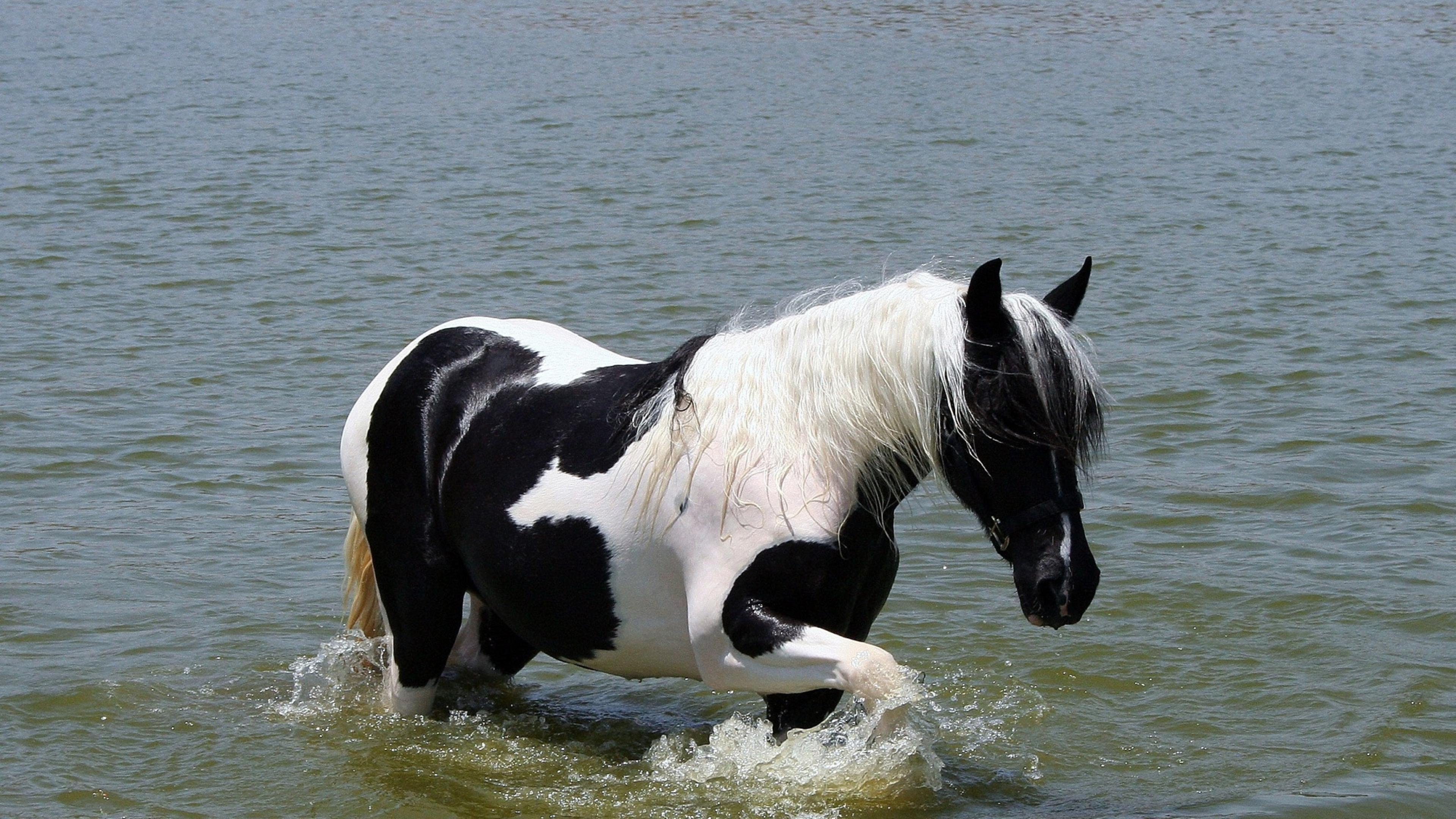 White And Black Horse Walking In The Water Wallpaper
