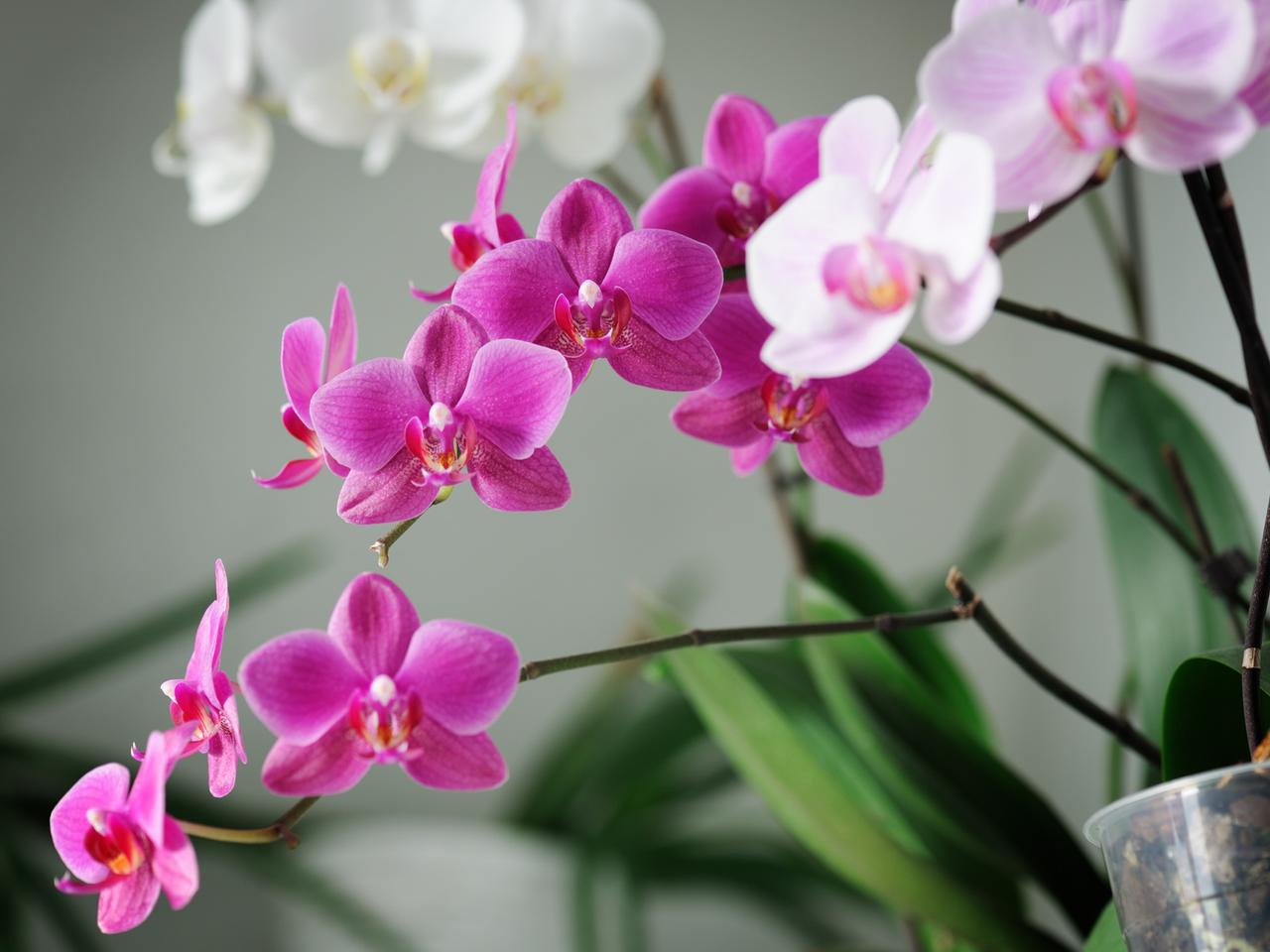 White And Pink Orchid Flowers In The House Wallpaper