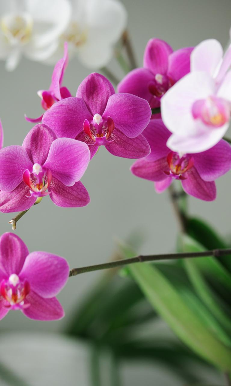 White And Pink Orchid Flowers In The House Wallpaper Download 768x1280