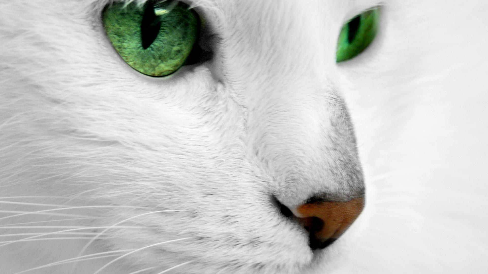 White Cat With Green Eyes Wallpaper Download 1920x1080