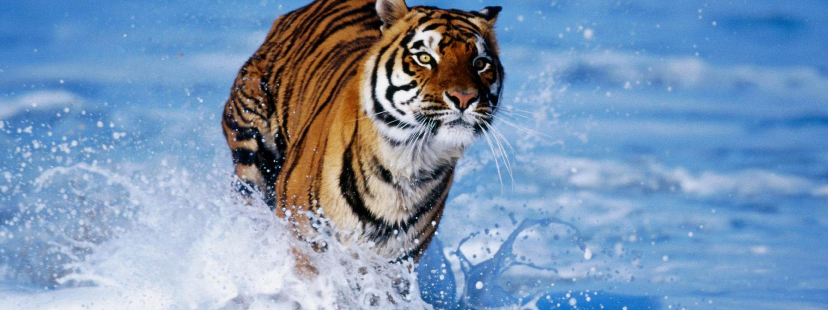 Wild Tiger Running In The Fresh Water Wallpaper Download 3200x1200