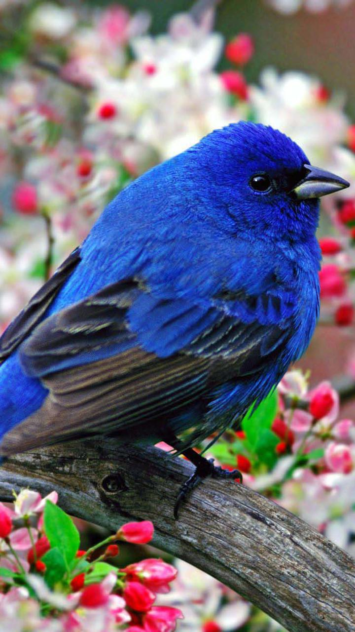 Download Wallpaper 720x1280 Wonderful Blue Bird In The Blossom Tree