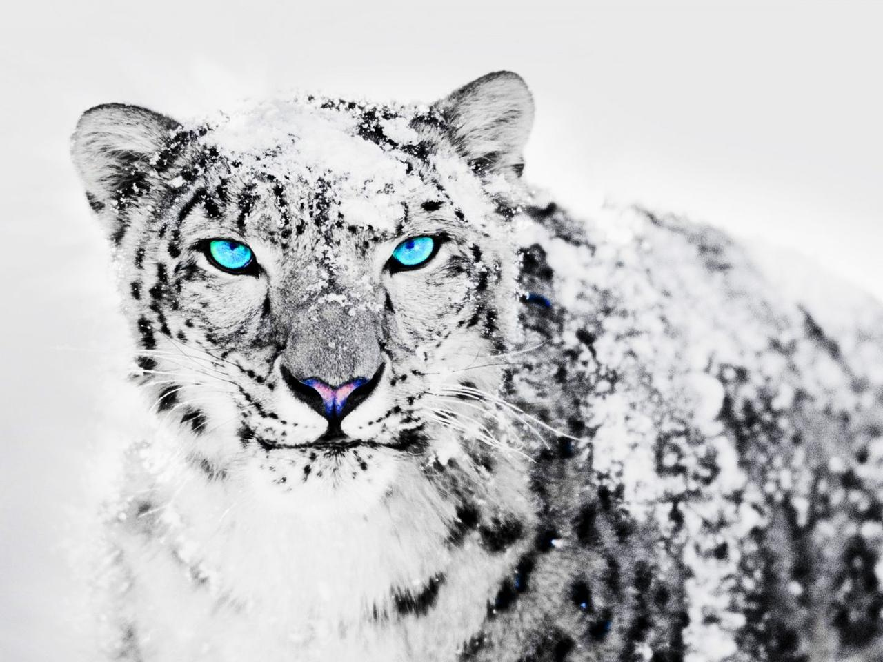 White tiger in snow with blue eyes