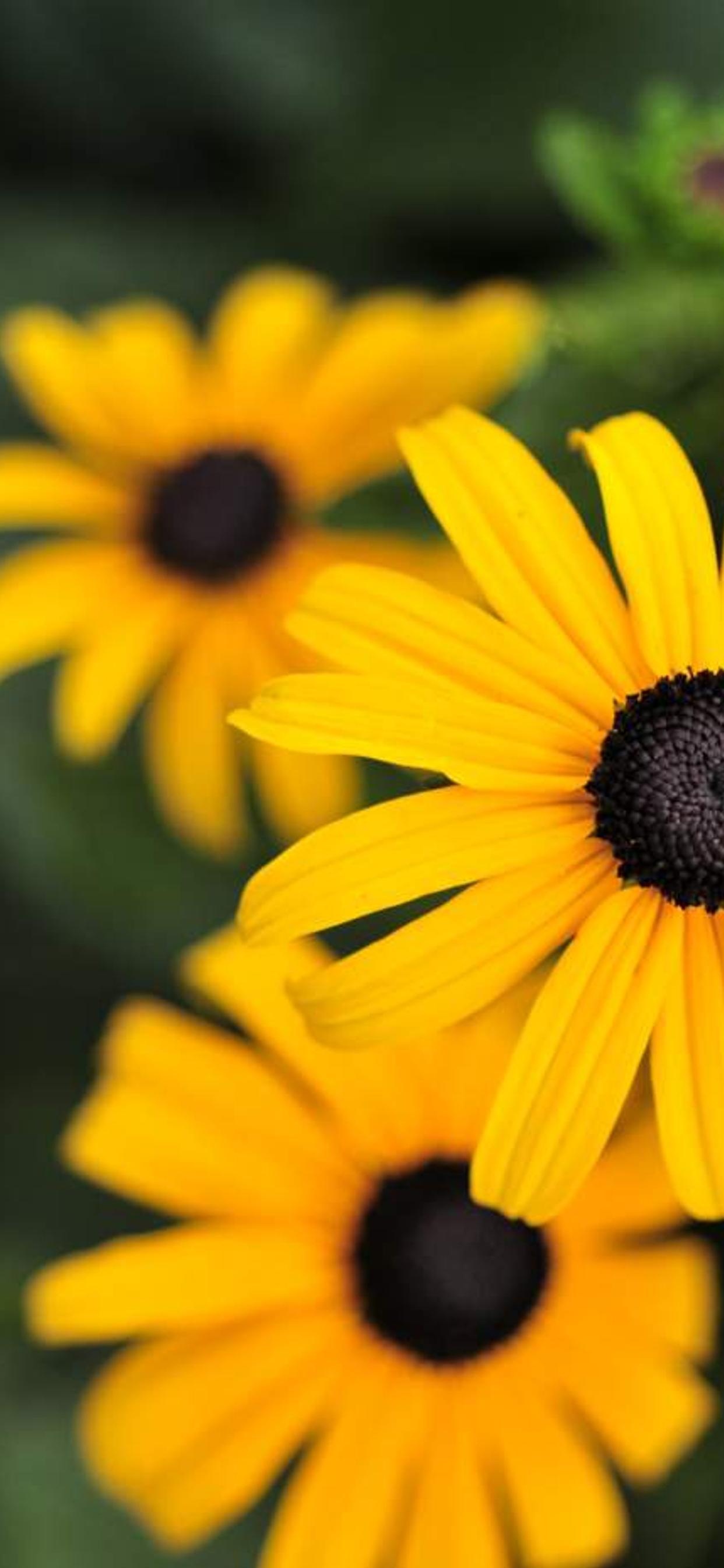 Yellow Flowers Gloriosa Daisy Hd Wallpaper