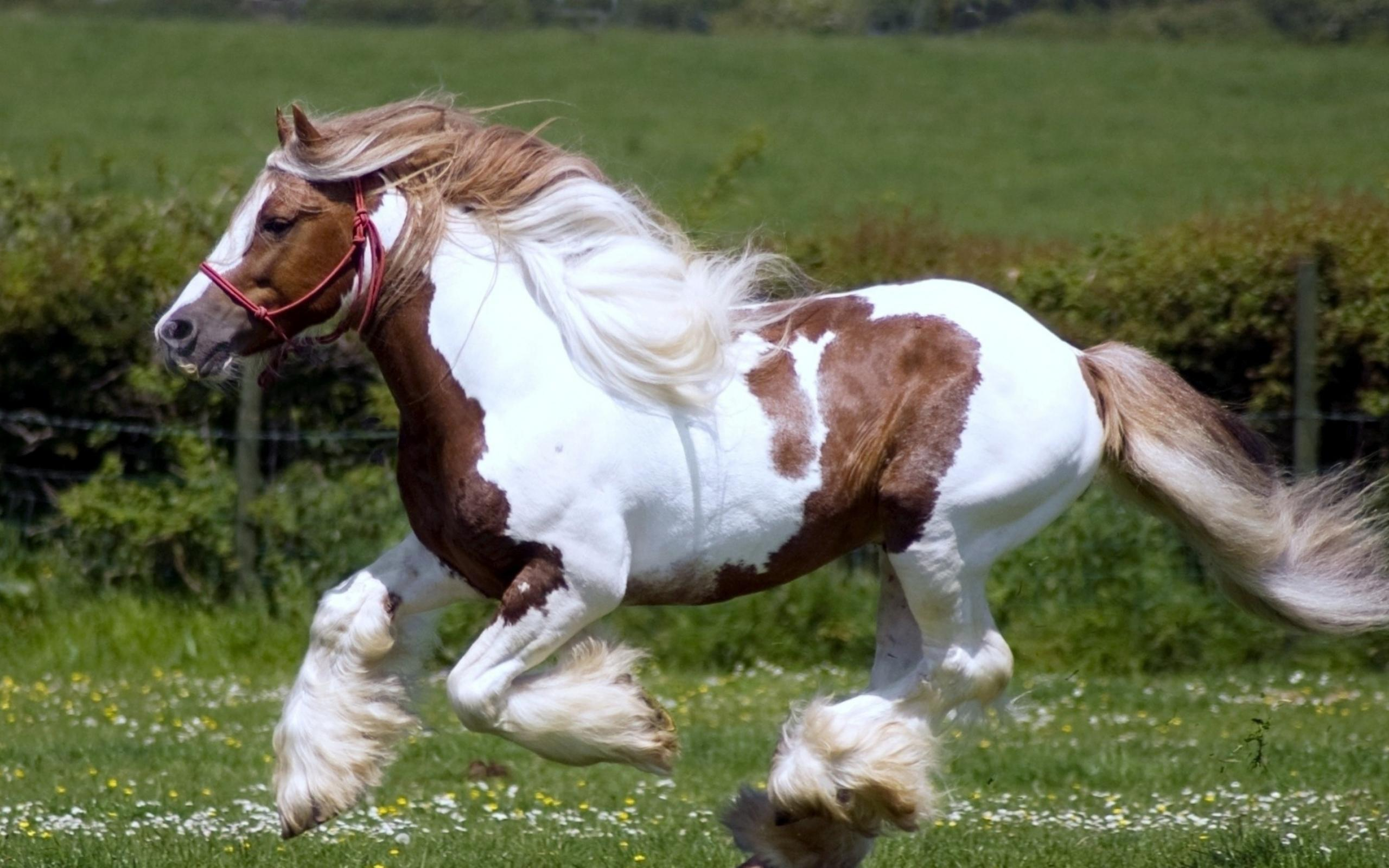 Beautiful White And Brown Horse Running On The Field