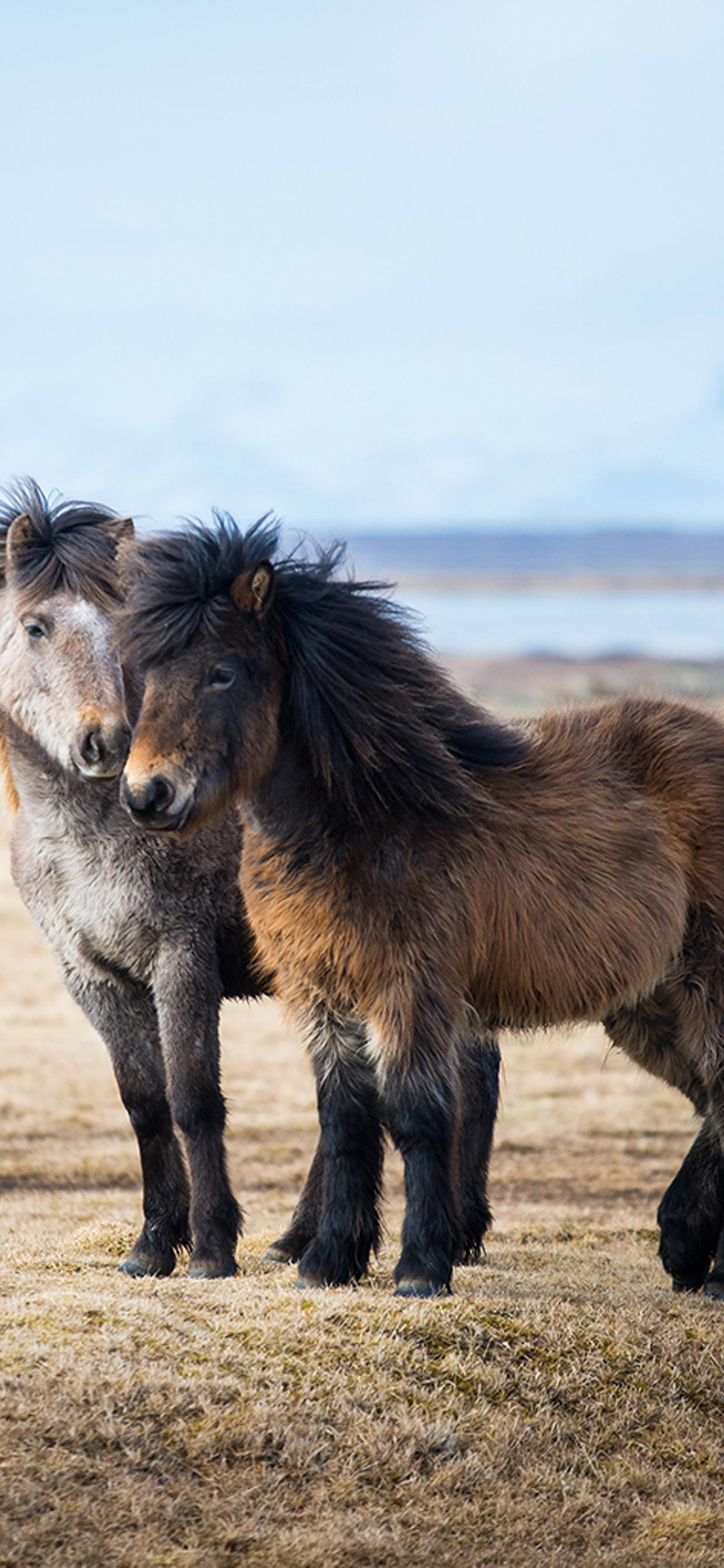 Two Sweet Icelandic Ponies Horses Wallpaper