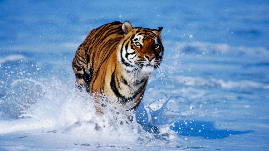 Download Wallpaper Wild tiger running in the fresh water