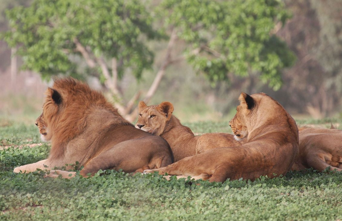 Download Wallpaper Many lions resting in the shade on the grass
