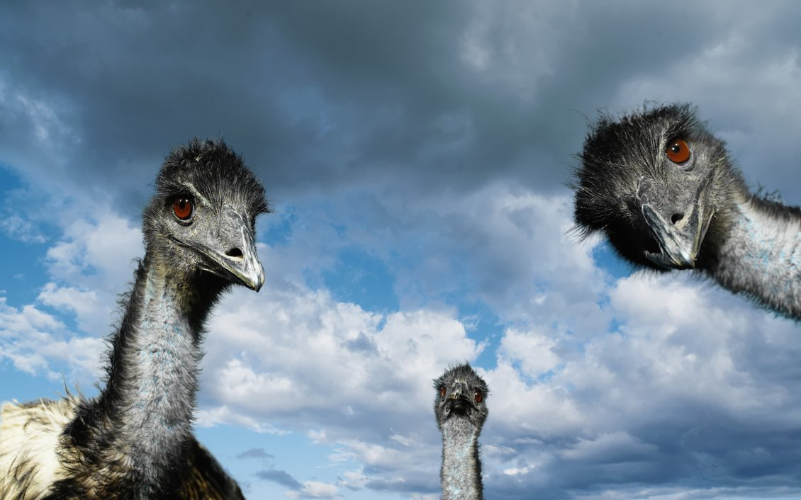 Download Wallpaper Three ostrich heads and the sky with clouds