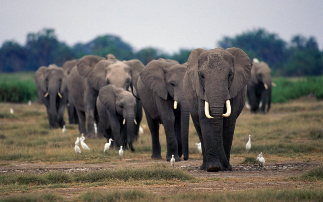 Download Wallpaper A herd of elephants on the field and white birds