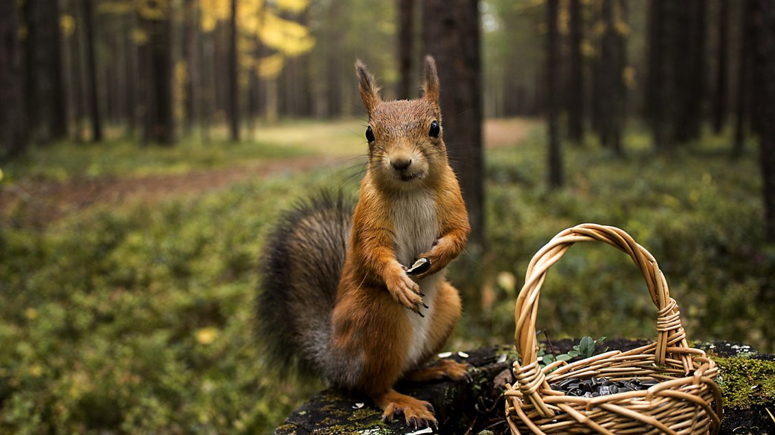 Download Wallpaper A squirrel with a basket in the forest