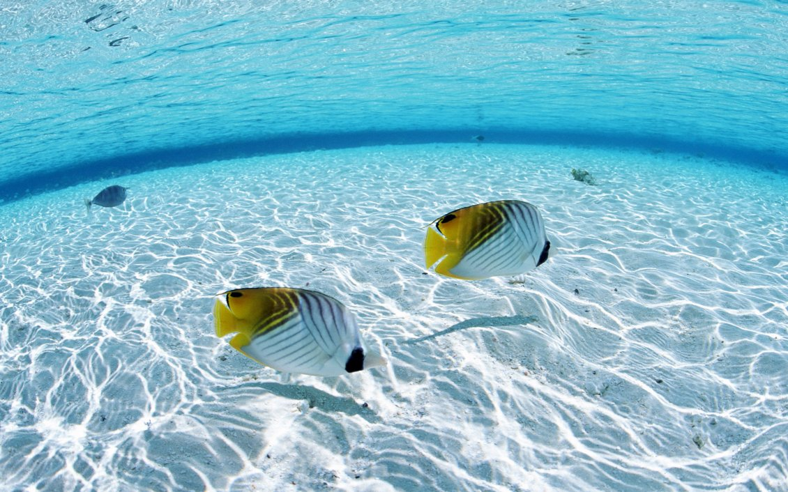 Download Wallpaper White and yellow fish on the seabed