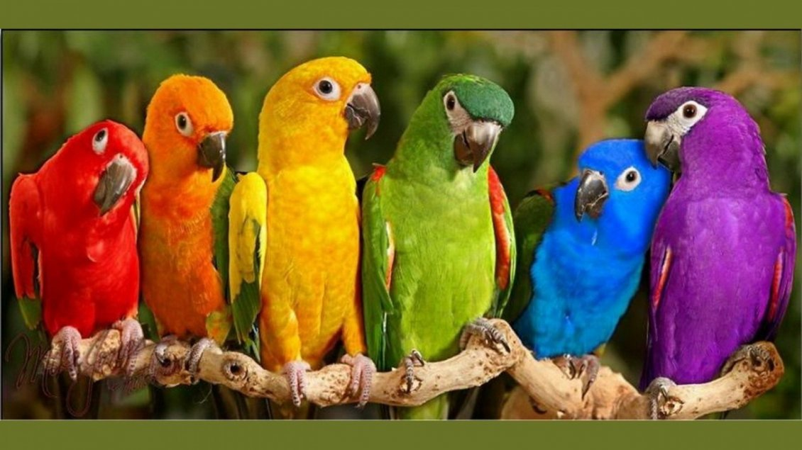 Download Wallpaper Six parrots in different colors on the branch