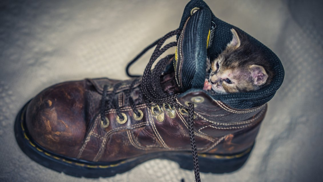 Download Wallpaper A cute gray kitten in a brown shoe
