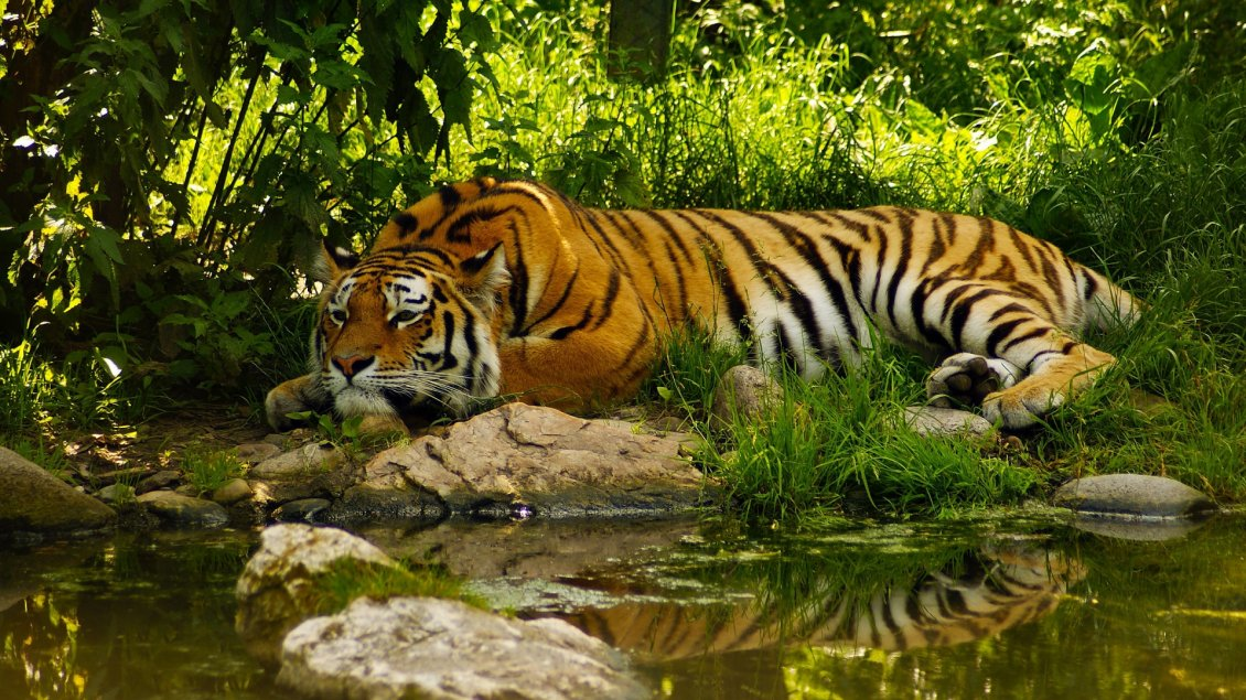 Download Wallpaper An amazing tiger sleeps on the shore of river