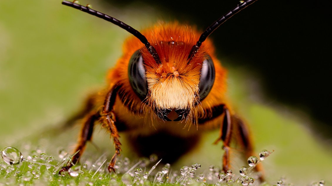 Download Wallpaper A big bee in the grass with dew drops - Insect wallpaper