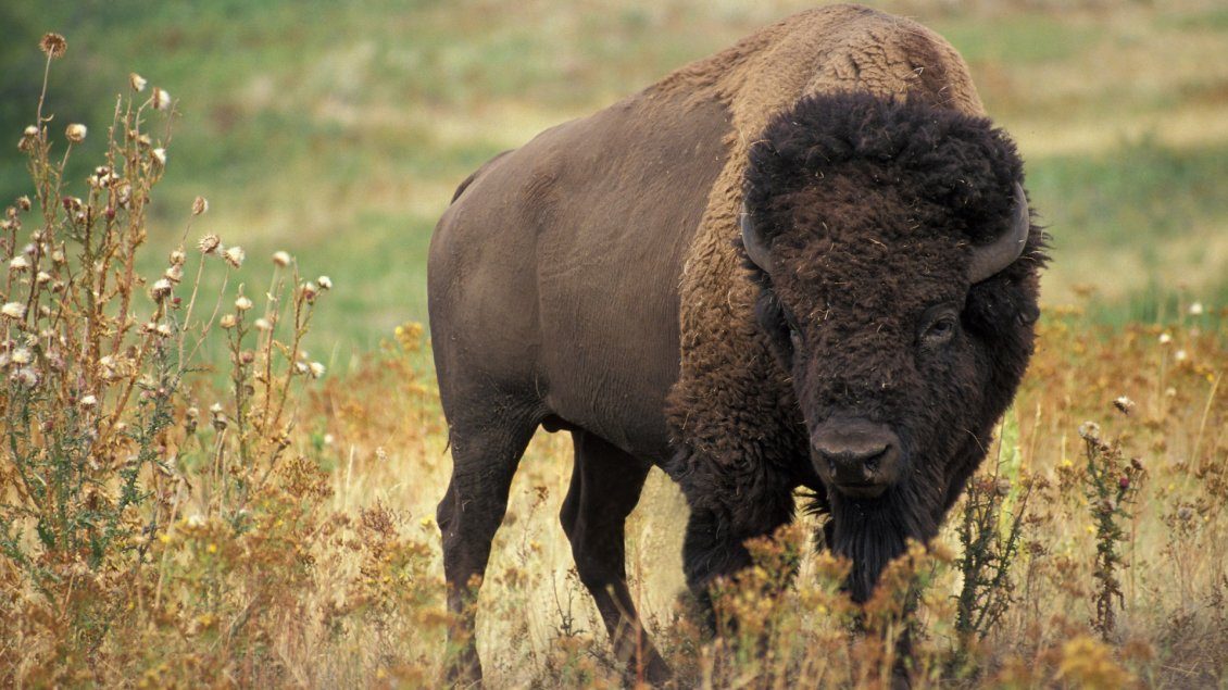 Download Wallpaper Black American Bison - Animal wallpaper