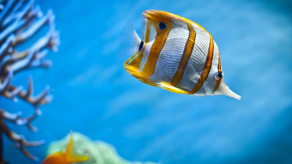 Download Wallpaper A beautiful fish with stripes of gold
