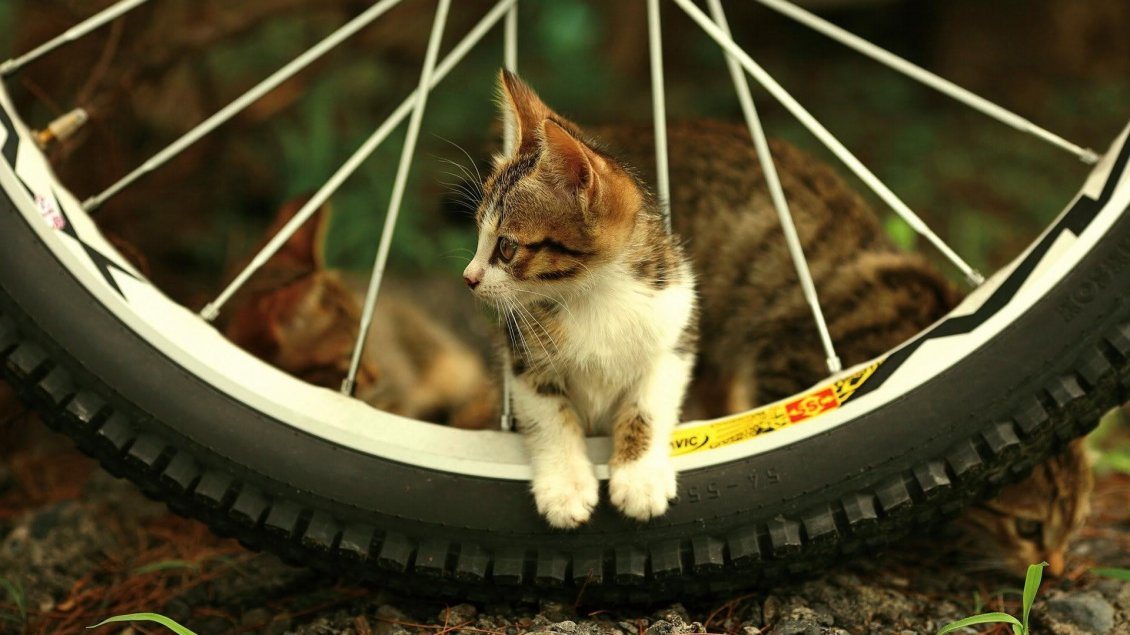 Download Wallpaper A cute kitty between the spokes of a bicycle wheel