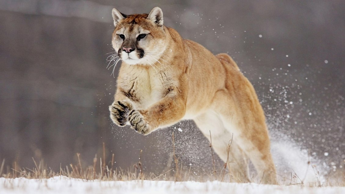 db1847968982 Download Wallpaper A beautiful puma at hunting - Wild animal wallpaper
