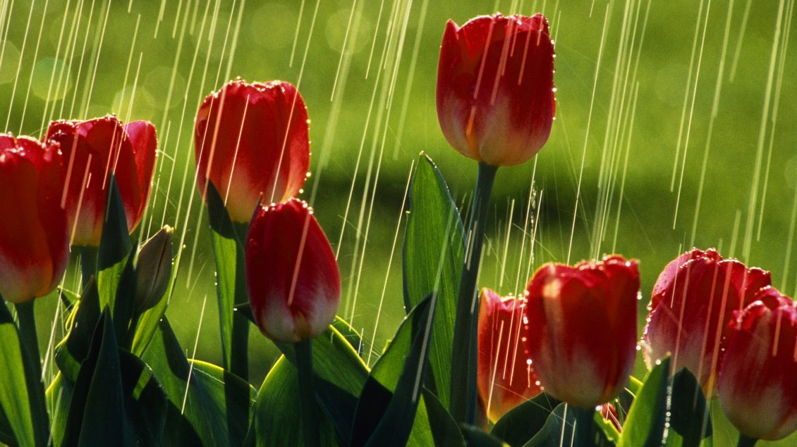 Red Tulips Under The Rain Flowers Wallpaper