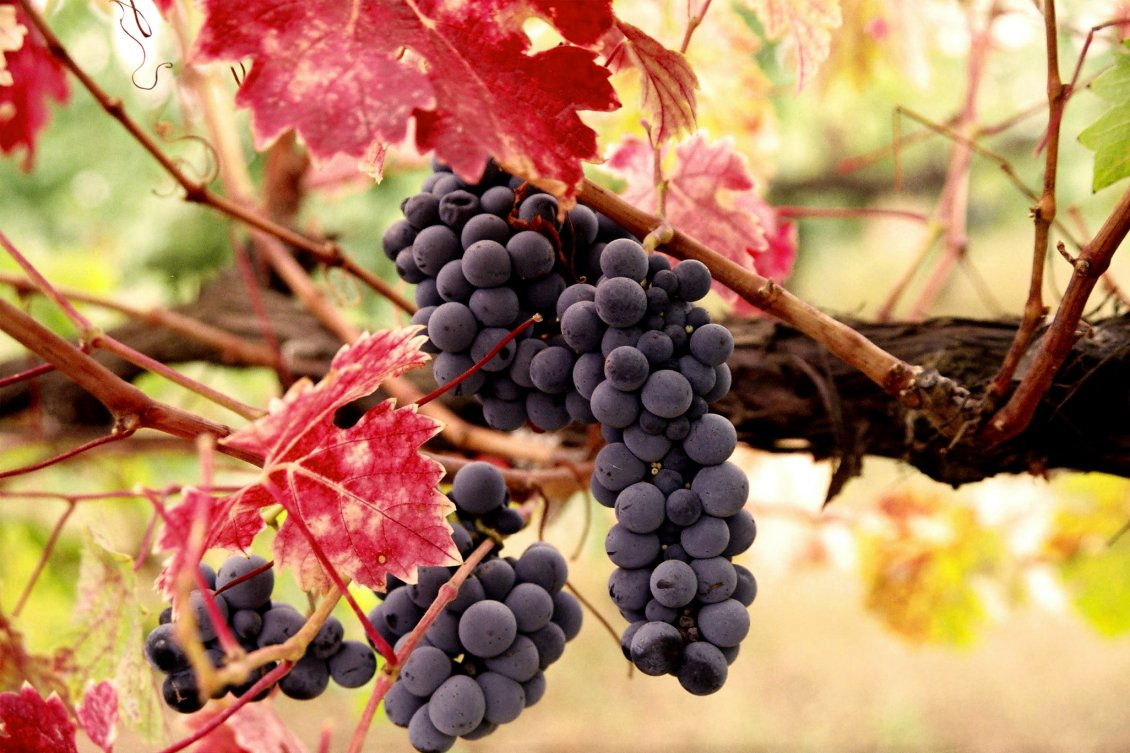 Download Wallpaper Delicious grapes for a delicious wine - HD wallpaper
