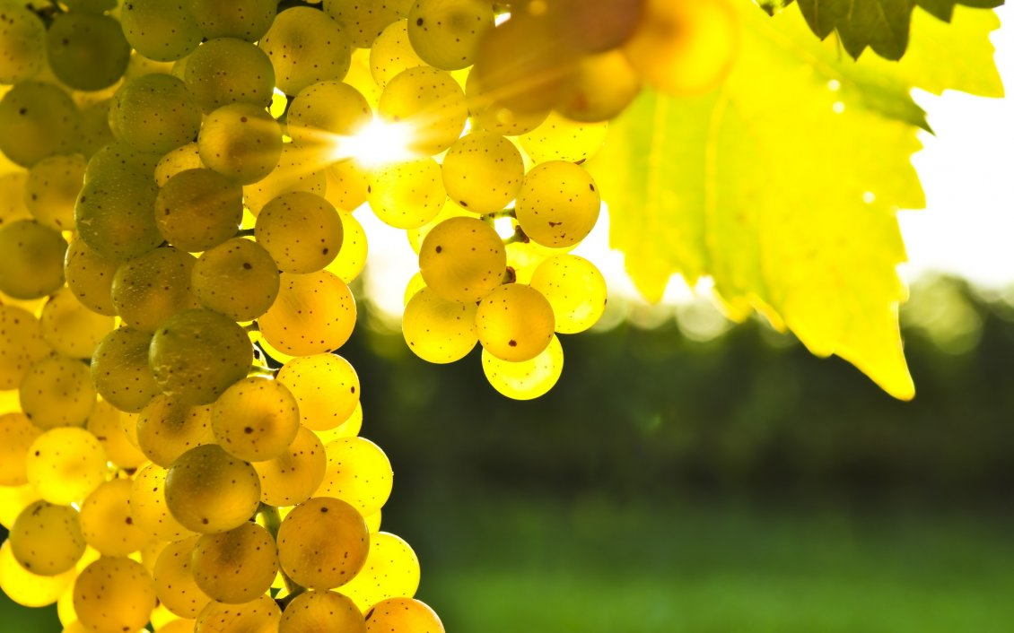 Download Wallpaper Beautiful golden grapes in the light of autumn sun