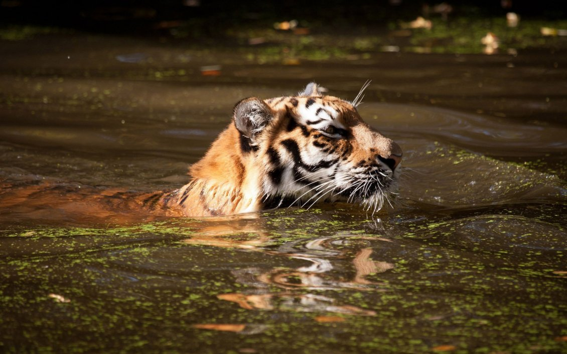Tiger swimming in dirty water - Wild animals