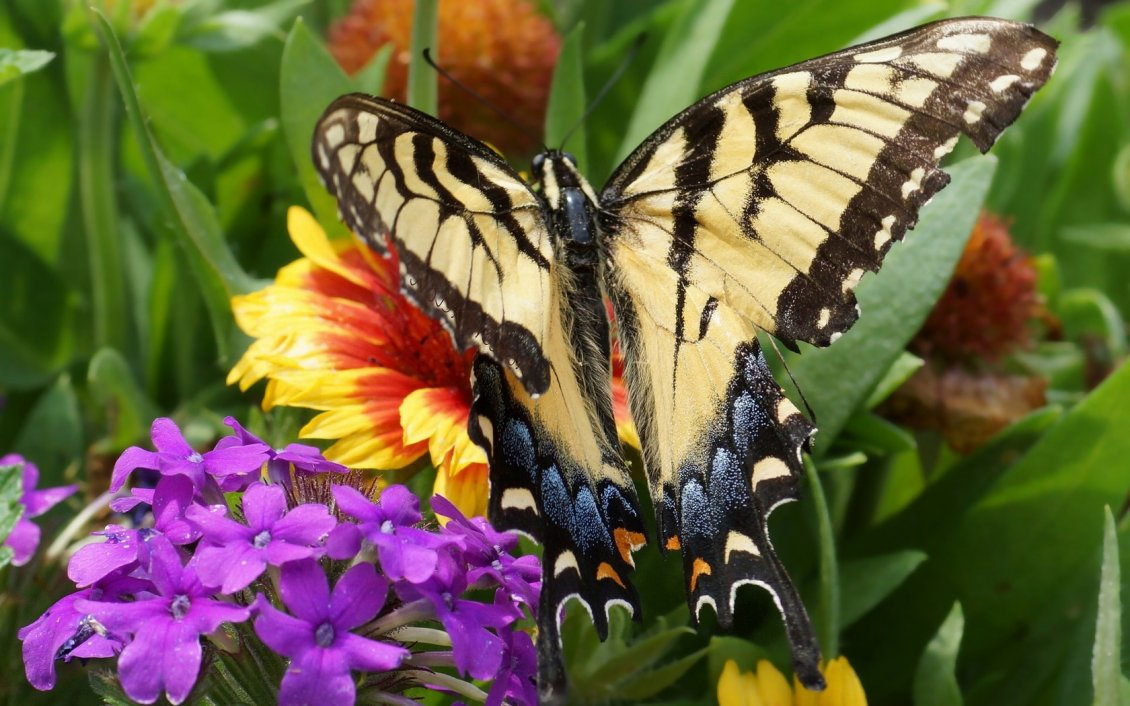 Download Wallpaper Beautiful black and cream butterfly on the colorful flowers