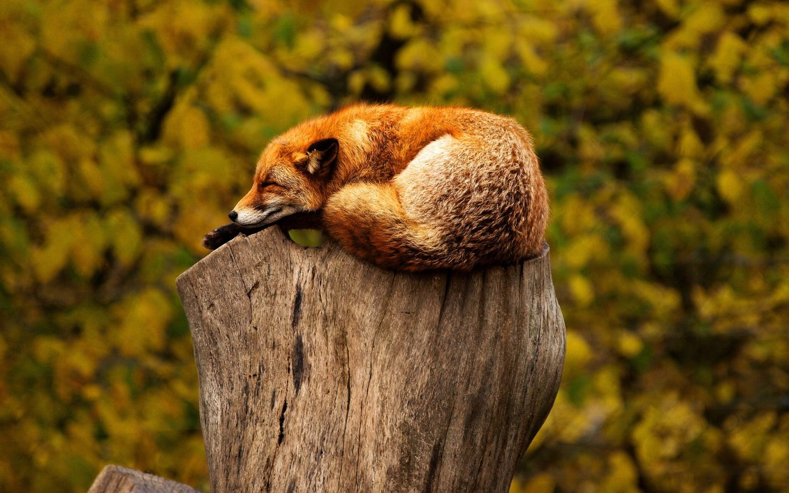 Download Wallpaper Wild fox sleep on a bunch of tree