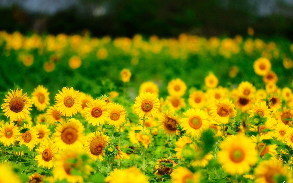 Download Wallpaper Yellow field full with sunflowers