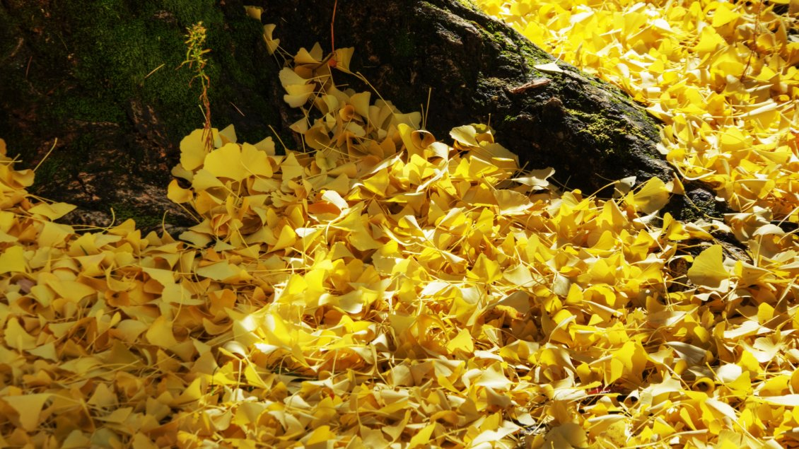 Download Wallpaper Lots of yellow leaves - Autumn carpet