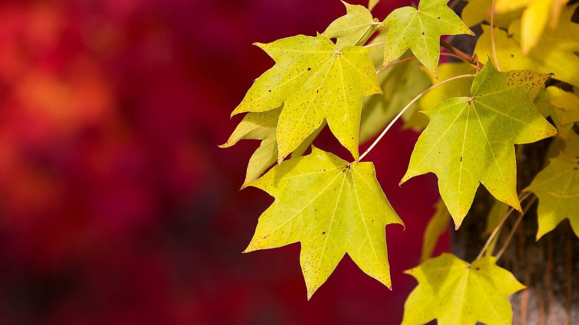Download Wallpaper Yellow Autumn leaves on a red background