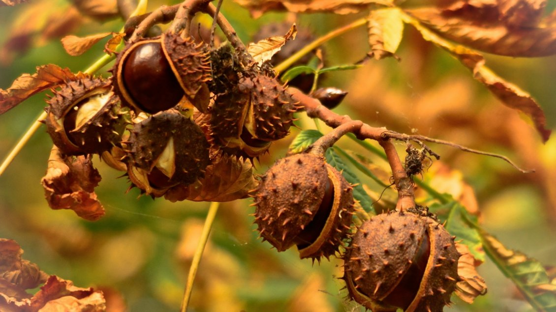 Download Wallpaper Delicious chestnuts in the tree - HD wallpaper