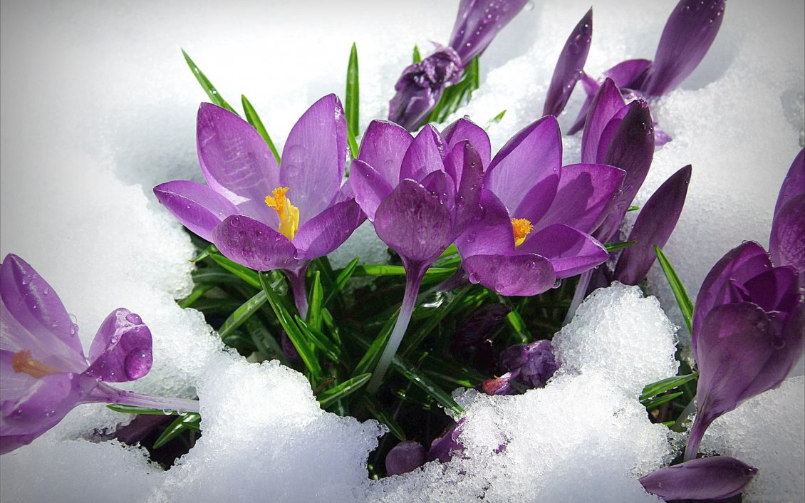 Purple Spring Flowers In The Snow Hd Wallpaper