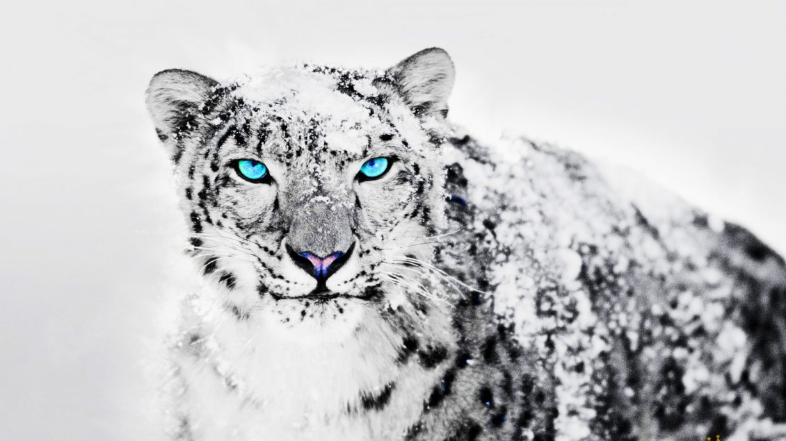 Download Wallpaper Wonderful blue eyes for a Siberian tiger - White snow
