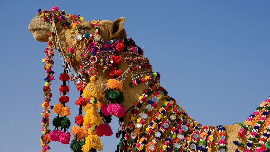 Download Wallpaper Camel covered with jewels - HD wild animal wallpaper