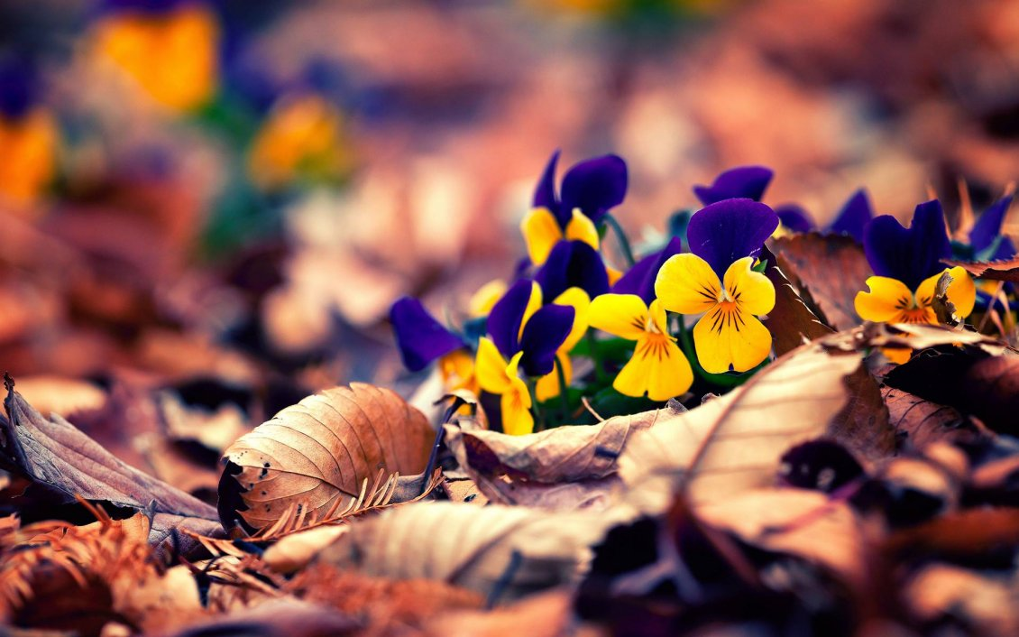Download Wallpaper Yellow and purple pansies on the Autumn carpet of leaves