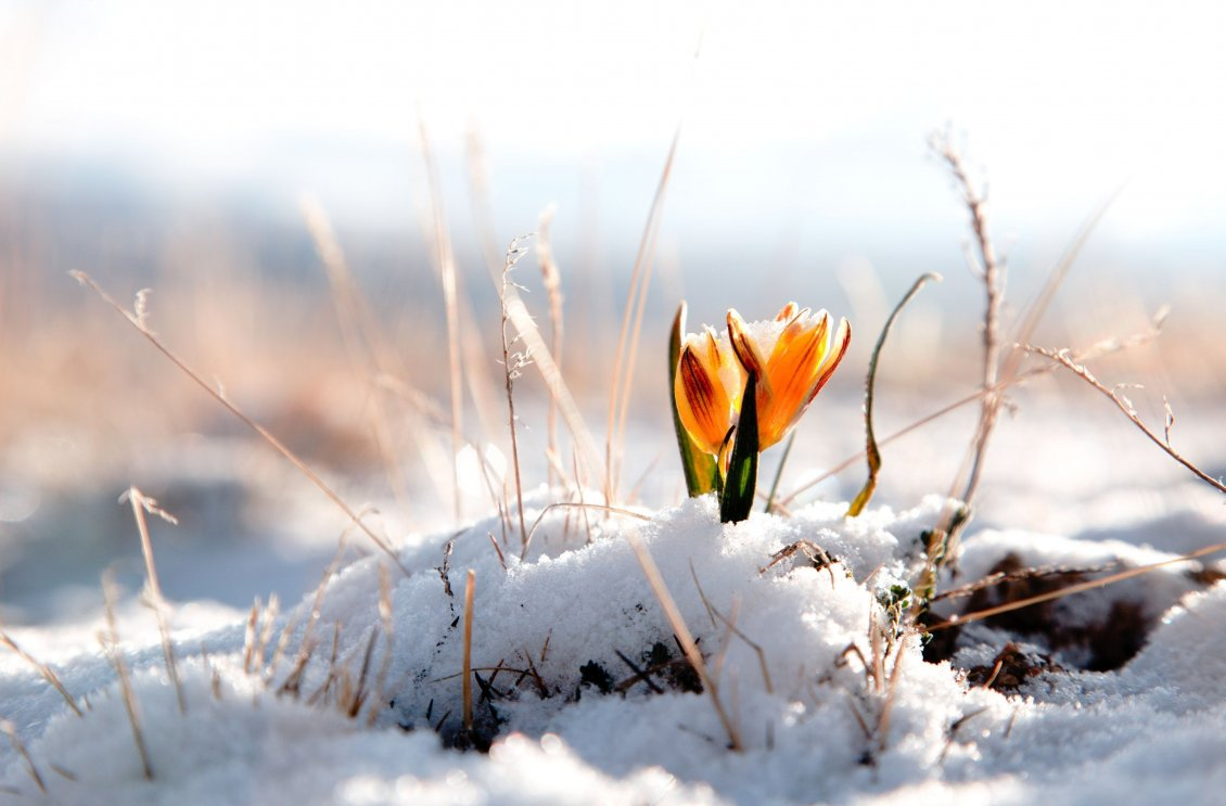 Download Wallpaper Yellow spring flower in the snow - HD wallpaper